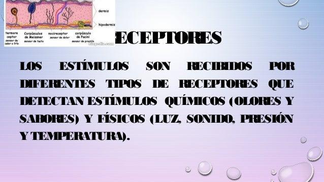 RECEPTORES LOS ESTÍMULOS SON RECIBIDOS POR DIFERENTES TIPOS DE RECEPTORES QUE DETECTAN ESTÍMULOS QUÍMICOS (OLORES Y SABORE...