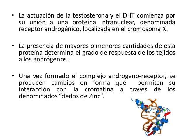 • La actuación de la testosterona y el DHT comienza porsu unión a una proteína intranuclear, denominadareceptor androgénic...