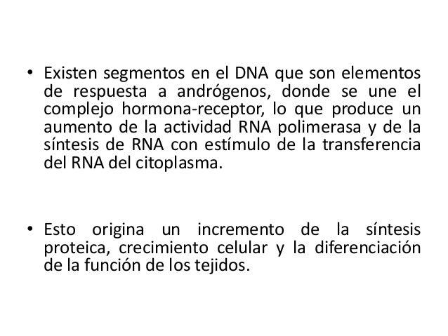 • Existen segmentos en el DNA que son elementosde respuesta a andrógenos, donde se une elcomplejo hormona-receptor, lo que...