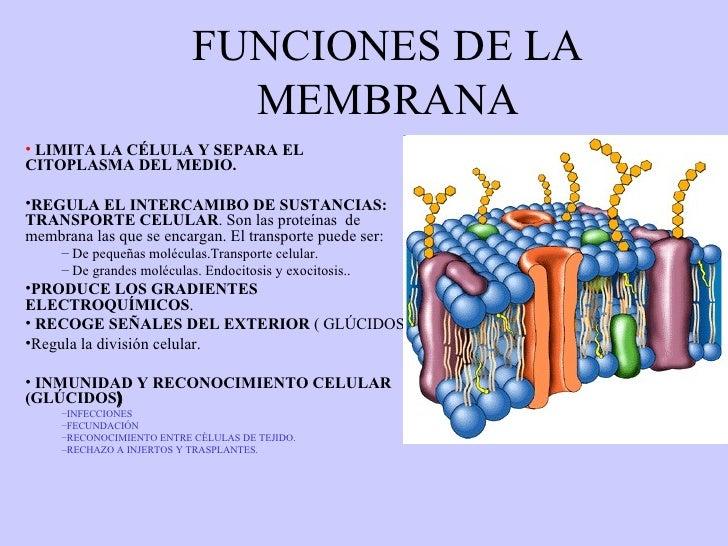 FUNCIONES DE LA MEMBRANA <ul><li>LIMITA LA CÉLULA Y SEPARA EL CITOPLASMA DEL MEDIO. </li></ul><ul><li>REGULA EL INTERCAMIB...