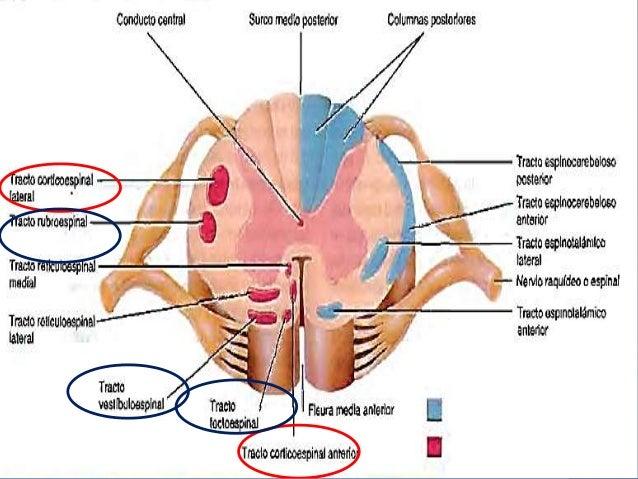 Funciones de la medula espinal