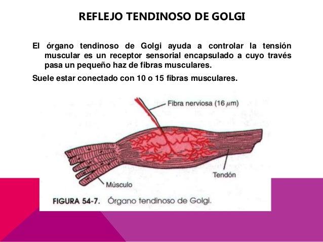 Funciones motoras de la medula espinal reflejos medulares