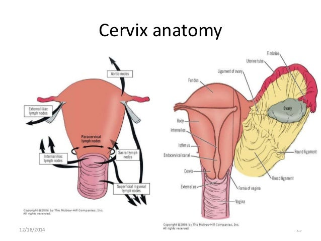 Anatomy Of Cervix By Picture Project Awesome Best Photo Gallery ...