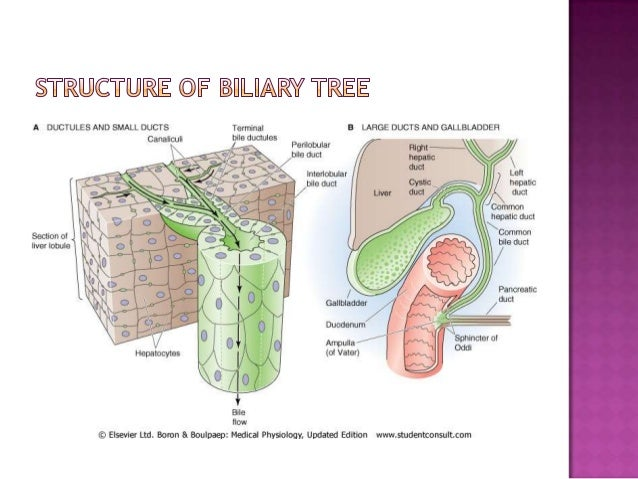 Functional anatomy of liver and biliary tree