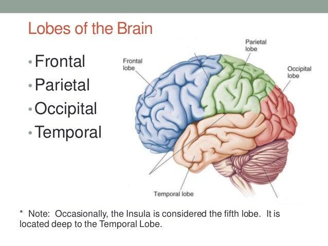 Functional anatomy of brain