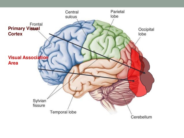 Functional Neuroanatomy Of Brain