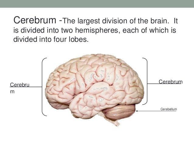 Functional Neuroanatomy Of Brain