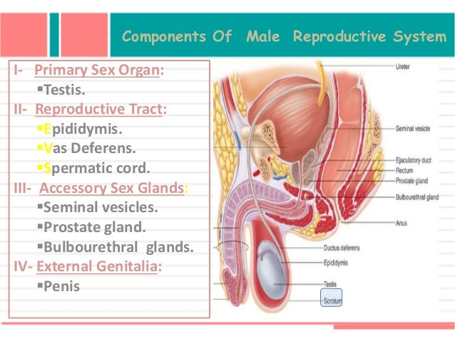 Primary male sex organs