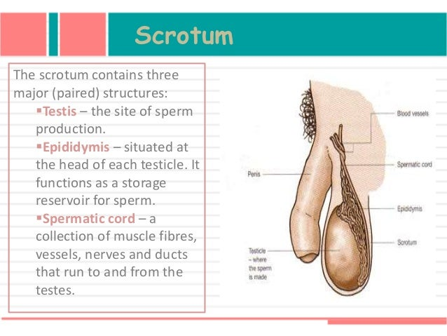 Function Of Male Reproductive Organ Spermatogenesis And Mechanism Of