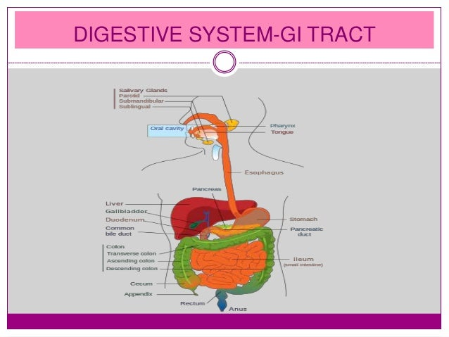 functions of gastrointestinal tract, Human Body