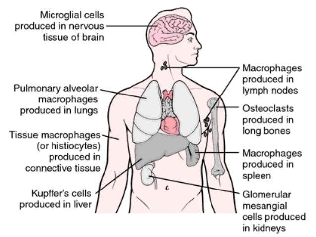 lymph nodes function