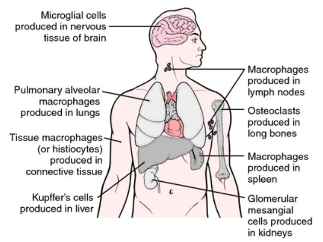 functions of spleen and lymph nodes, Human Body