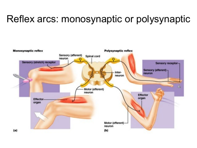 Fundamentals of the nervous system reflex arc and information processing are shownanterior view 33 terminology for quiz ccuart Choice Image
