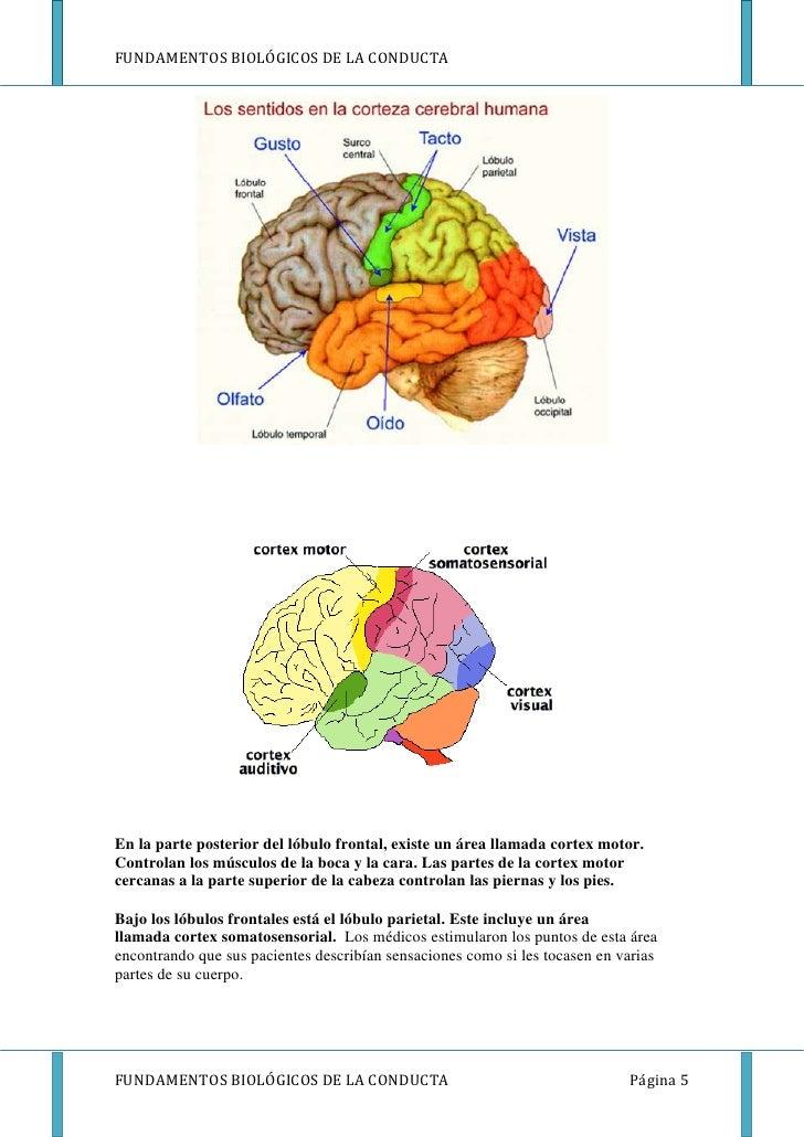 FUNDAMENTOS BIOLÓGICOS DE LA CONDUCTAEn la parte posterior del lóbulo frontal, existe un área llamada cortex motor.Control...