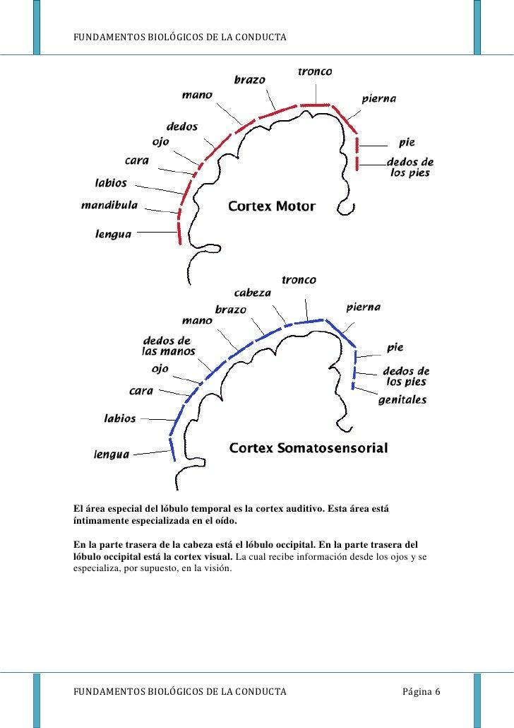 FUNDAMENTOS BIOLÓGICOS DE LA CONDUCTAEl área especial del lóbulo temporal es la cortex auditivo. Esta área estáíntimamente...