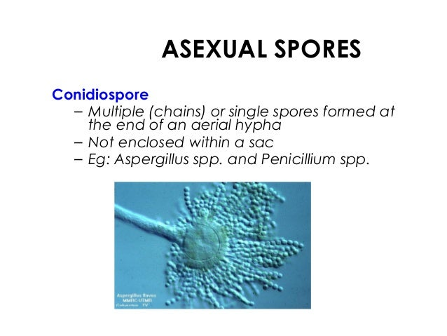 An asexual spore of aspergillus is called a