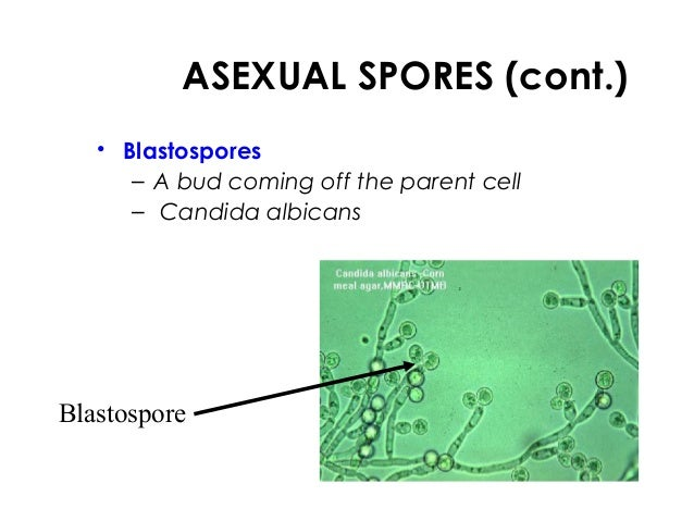 Types of asexual spores formed by fungi