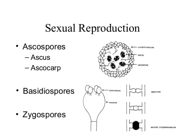 Fungal asexual reproduction ascospores