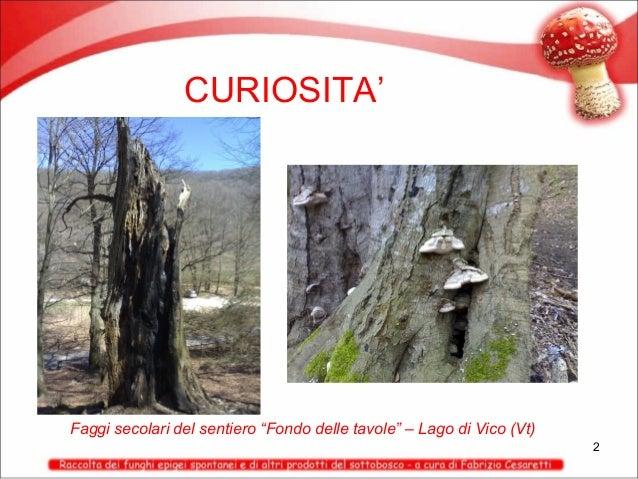 """CURIOSITA'  Faggi secolari del sentiero """"Fondo delle tavole"""" – Lago di Vico (Vt) 2"""