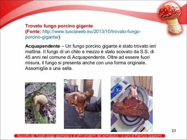 Trovato fungo porcino gigante (Fonte: http://www.tusciaweb.eu/2013/10/trovato-fungoporcino-gigante/) Acquapendente – Un fu...
