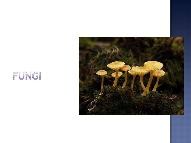 """ En biología, el término Fungi (latín, literalmente """"hongos"""") designa a un grupo de organismos eucariotas entre los que s..."""