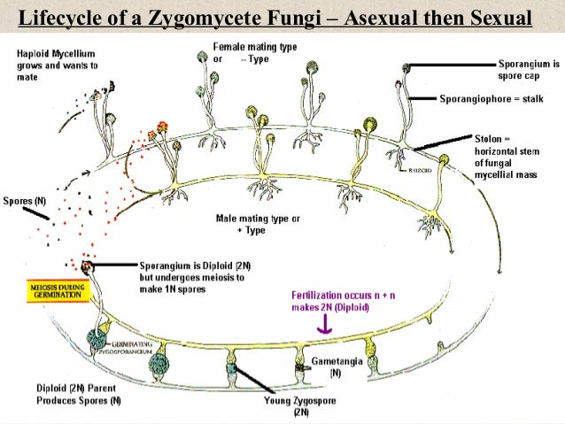 Zygomycetes asexual reproduction diagram