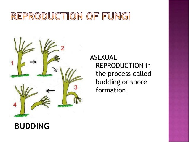 Sporogenesis asexual reproduction in fungi
