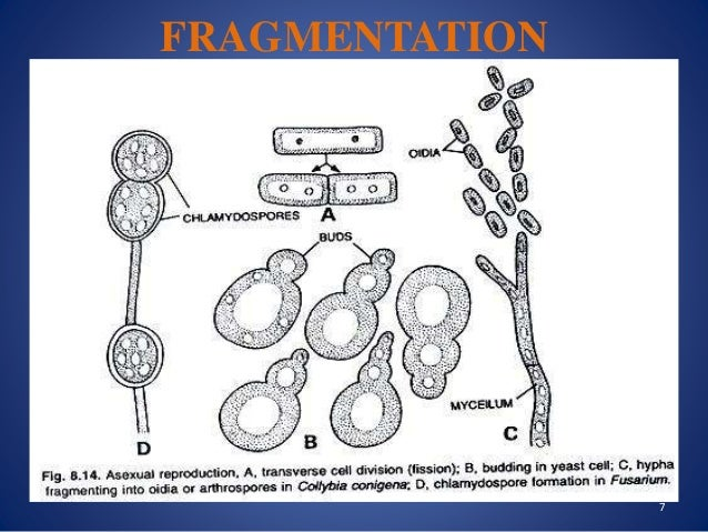 Asexual reproduction of fungi by fragmentation