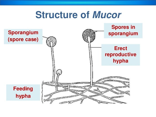 Fungi kingdom asexual reproduction in mucor by producing spores ccuart Image collections