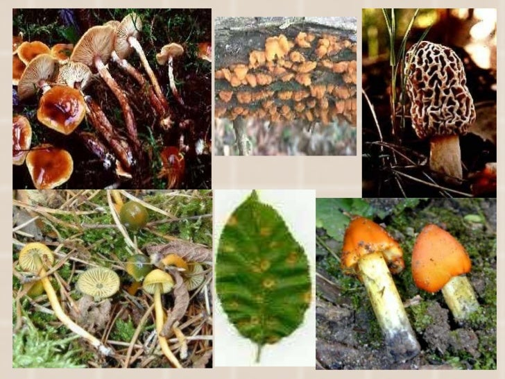 Fungal Characteristics 1)Cell wall made of Chitin    2)Heterotrophs and major Decomposers    3)Body is made of Long ...