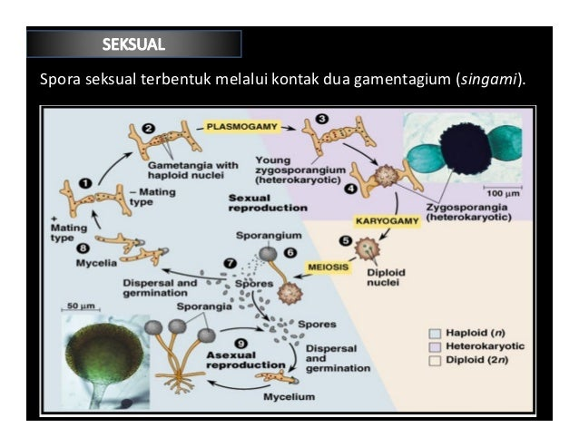Perkembangbiakan aseksual zygomycota asexual reproduction