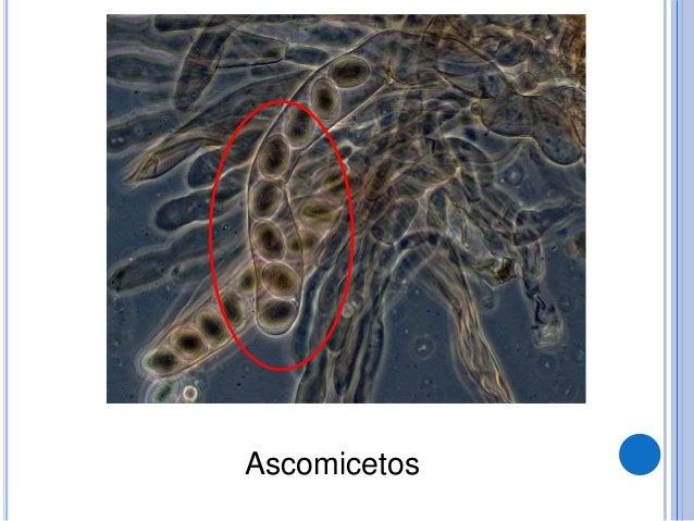 BASIDIOMICETOS  Os basidiomicetos, com cerca de 22.000 espécies, são os que produzem estruturas reprodutoras sexuadas, de...