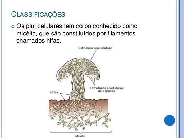 CLASSIFICAÇÕES  Os pluricelulares tem corpo conhecido como micélio, que são constituídos por filamentos chamados hifas.
