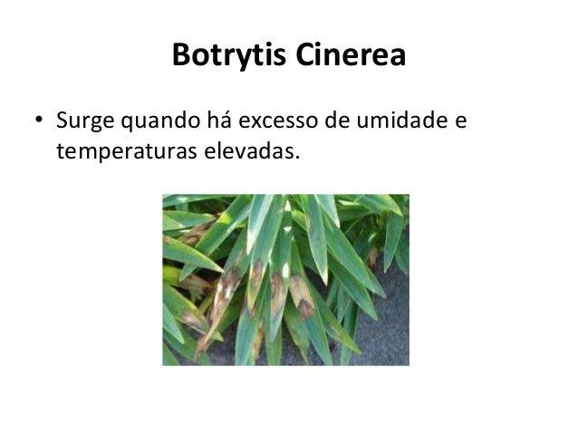 Botrytis Cinerea • Surge quando há excesso de umidade e temperaturas elevadas.