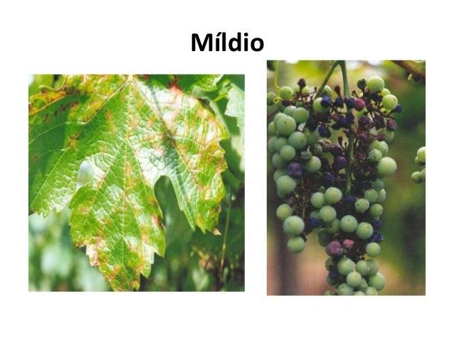 Míldio