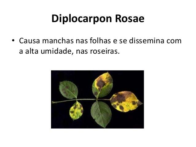 Diplocarpon Rosae • Causa manchas nas folhas e se dissemina com a alta umidade, nas roseiras.