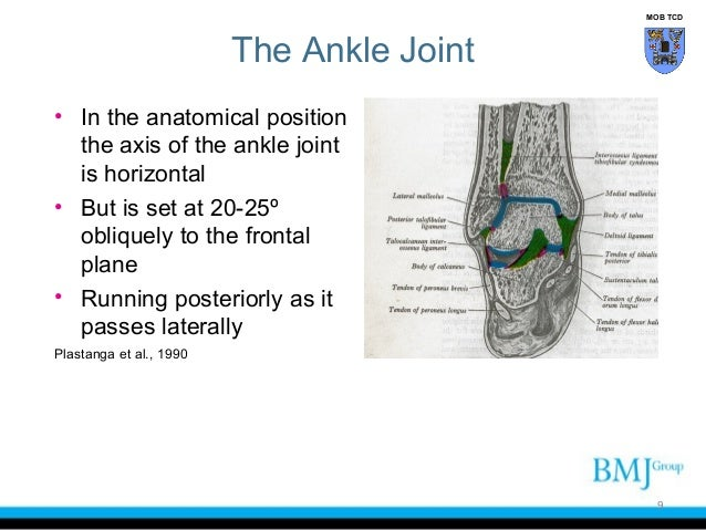 Functional Anatomy Of The Ankle Joint Complex