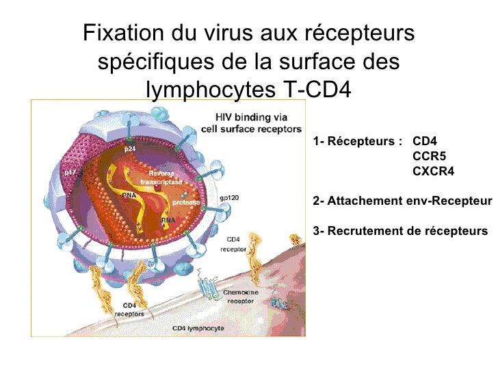 Fixation du virus aux récepteurs spécifiques de la surface des lymphocytes T-CD4 1- Récepteurs :  CD4 CCR5 CXCR4 2- Attach...