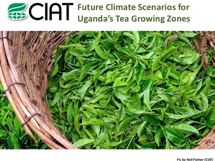 Future Climate Scenarios forUganda's Tea Growing Zones                        Pic by Neil Palmer (CIAT)