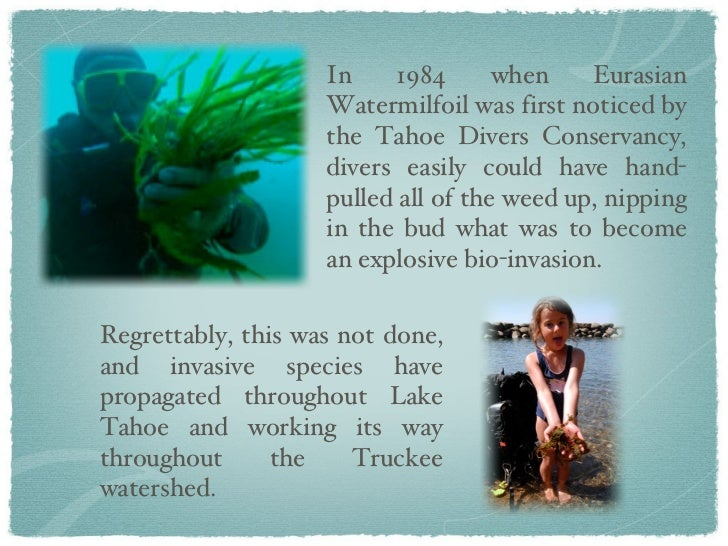 In 1984 when Eurasian Watermilfoil was first noticed by the Tahoe Divers Conservancy, divers easily could have hand-pulled...