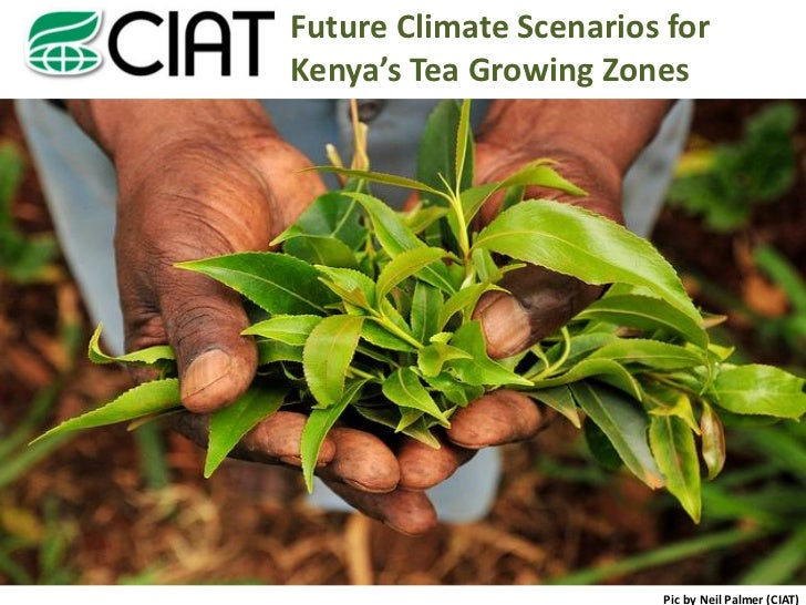 Future Climate Scenarios forKenya's Tea Growing Zones                        Pic by Neil Palmer (CIAT)