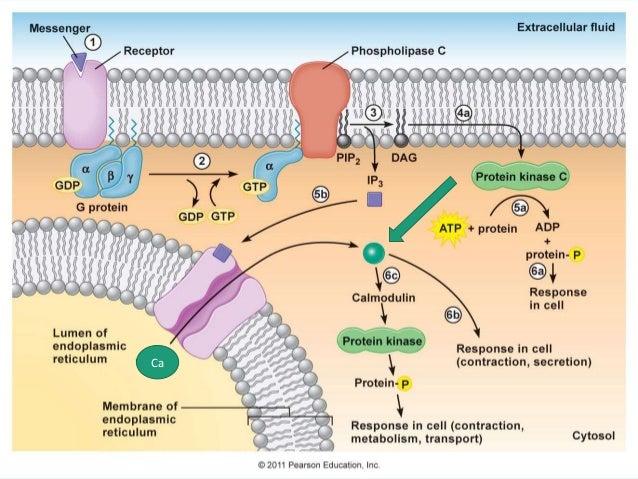 https://image.slidesharecdn.com/g-proteincoupledreceptor-final-150627024606-lva1-app6892/95/g-protein-coupled-receptor-23-638.jpg?cb=1435373263