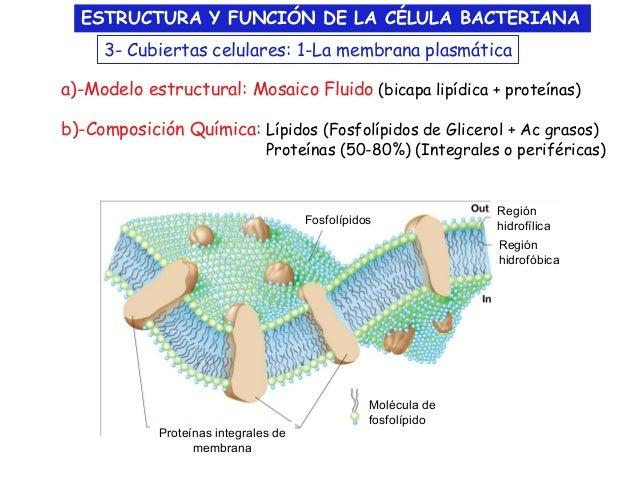 Estructura Y Funcion De La Celula Bacteriana