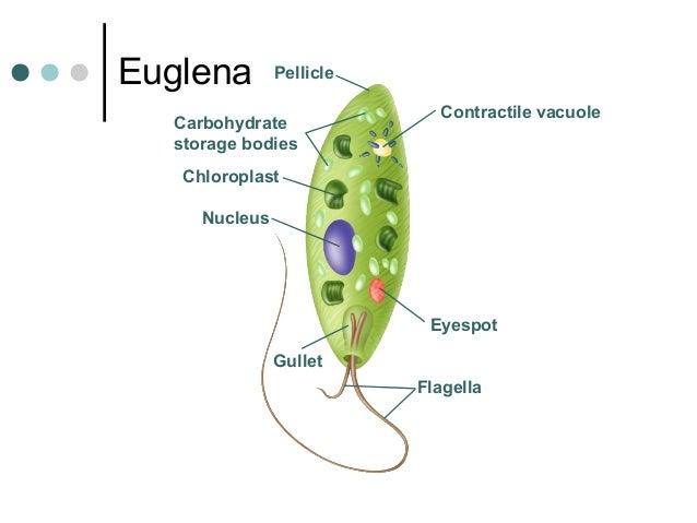 Image Gallery euglena parts