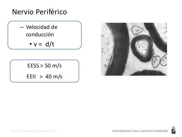 Nervio Periférico  – Velocidad de  conducción  • v = d/t  EESS > 50 m/s  EEII > 40 m/s  UNIVERSIDAD Dra. Ma de los Angeles...