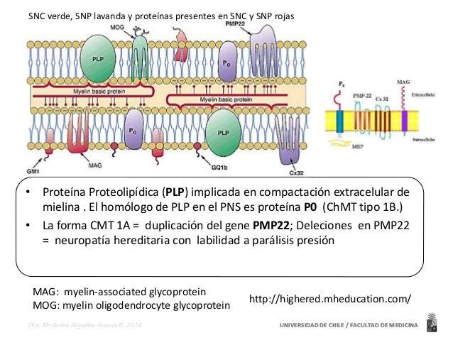SNC verde, SNP lavanda y proteínas presentes en SNC y SNP rojas  • Proteína Proteolipídica (PLP) implicada en compactación...