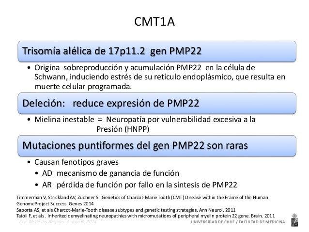 CMT1A  Trisomía alélica de 17p11.2 gen PMP22  • Origina sobreproducción y acumulación PMP22 en la célula de  Schwann, indu...