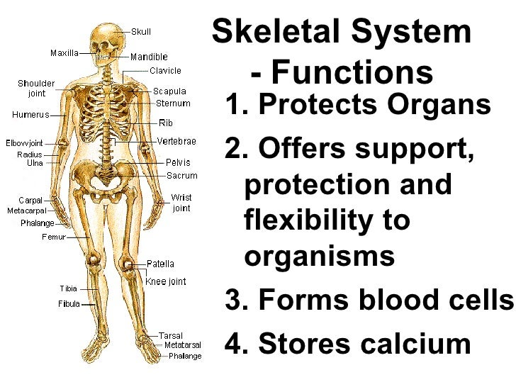 Functions Of Skeletal System Diagram Block And Schematic Diagrams