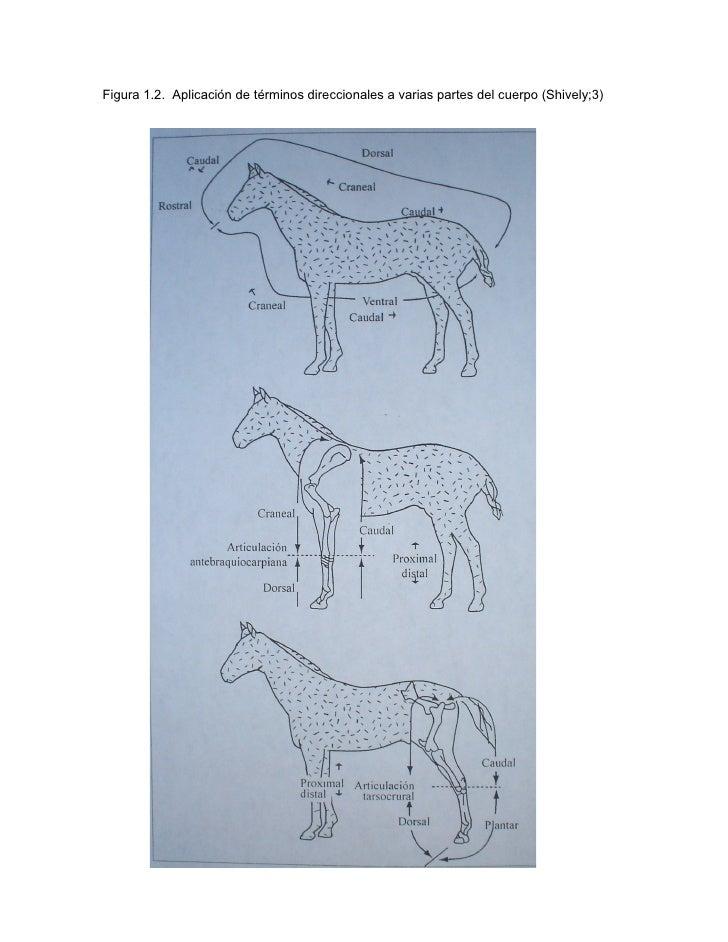 Introducción al estudio de la anatomía descriptiva veterinaria.