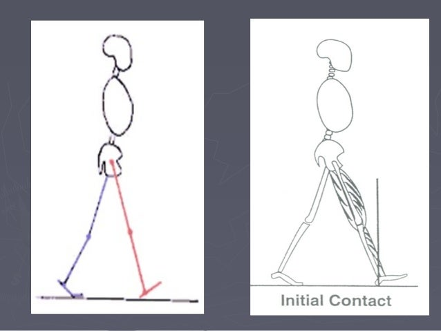 Frontal plane analysis Ankle The foot begins to move in the direction of supination from its pronated position at the end ...